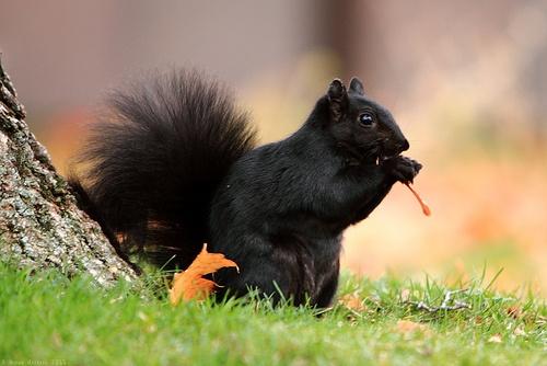 Love black squirrels
