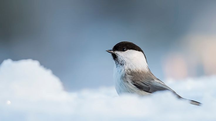 Willow tit in the snow by Pascal De Munck