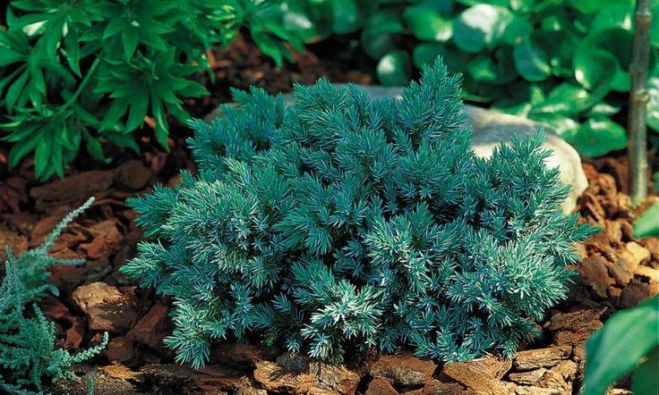 Vintergrønne planter kanadahemlokk 'jeddeloh' tsuga canadensis ...