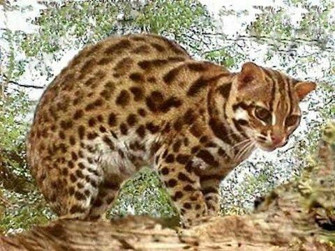 Prionailurus bengalensis gatto leopardo