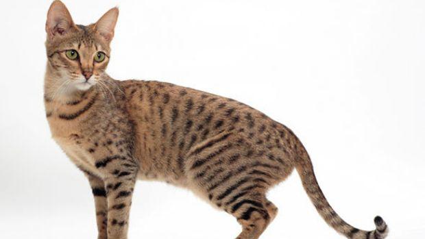 http://www.vocerealmentesabia.com/2013/02/os-gatos-que-valem-ouro.html  Outro híbrido, desta vez entre o serval africano e o gato doméstico, o Savannah é bastante fiel e frequentemente comparado aos cães. A despeito de sua aparência selvagem, o Savannah é um gatinho sociável e bastante brincalhão. Seu preço varia entre 1.500 e 50.000 dólares.