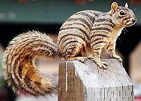 Zebra Squirrel