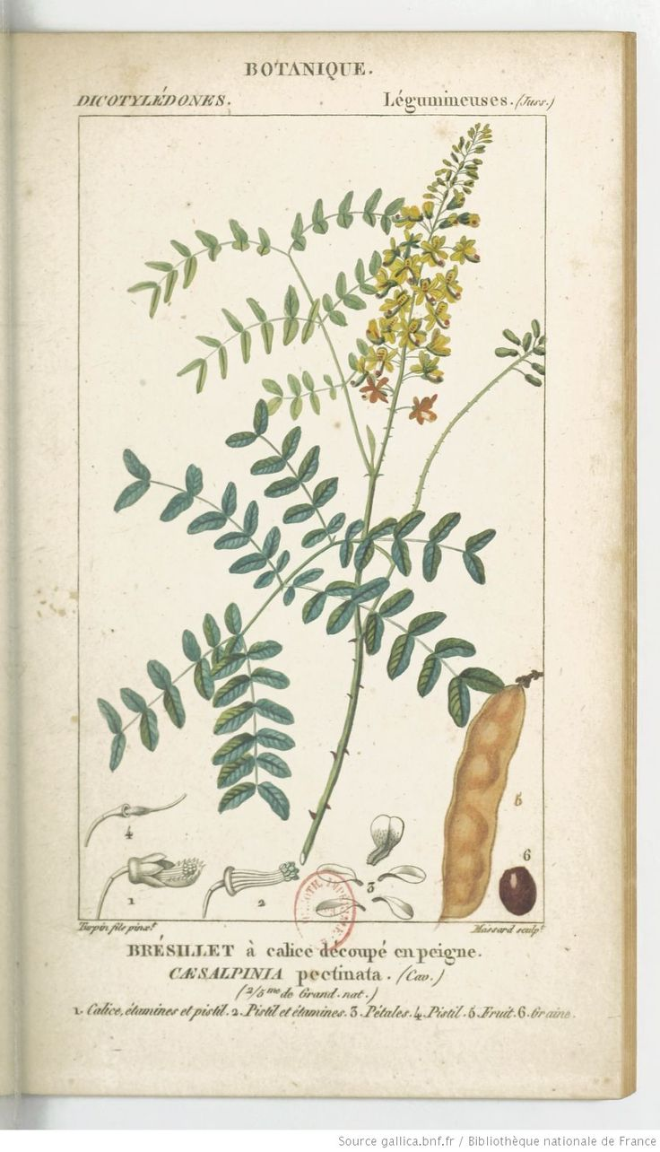 Brésillet à calice découpé en peigne, Dictionnaire des sciences naturelles.... Partie 2 / Par plusieurs professeurs du Jardin du roi | 1816-1845