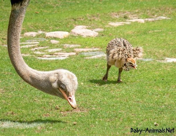 Baby ostrich picture  #babyanimals #babyostrich #ostrich #cuteostrich #littleostrich #sweetostrich #ostrichphotos #babyostrichpictures
