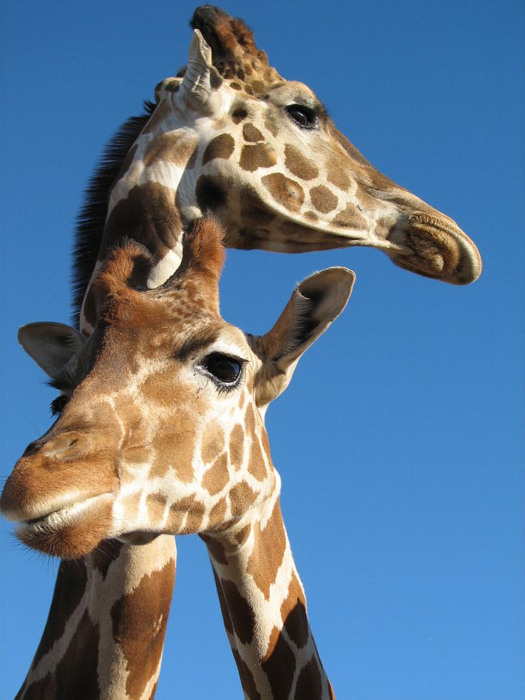 """ Giraffes Photo by Shauna """