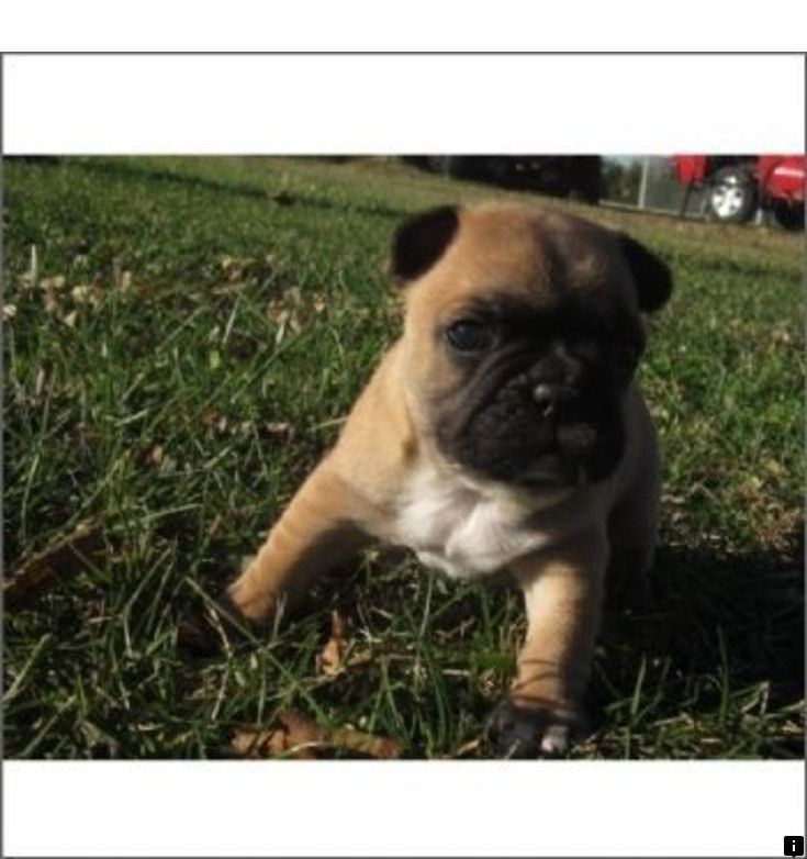 Head To The Webpage To Learn More About Pugs For Sale Near Me