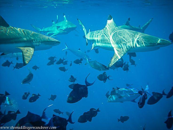Snorkelling with Black Tip Reef Sharks, Bora Bora, Tahiti