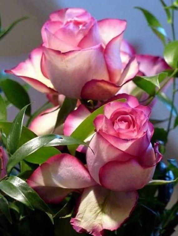 Rare Pink White Rose Seeds Flower Bush Perennial Shrub Garden Home Exotic Yard Grown Party Wedd