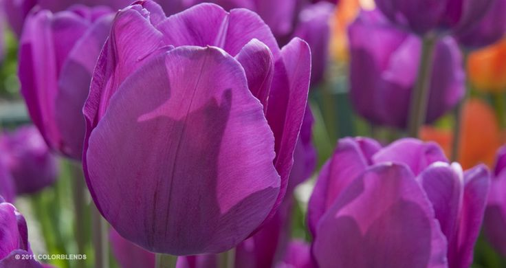 "A photograph of the the spring flowering Tulip Bulbs cultivar ""Best Purple"" 