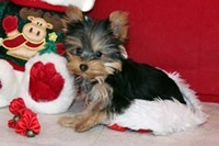 Male and Female Teacup Yorkie Puppies For Adoption Text me 609 807-2598