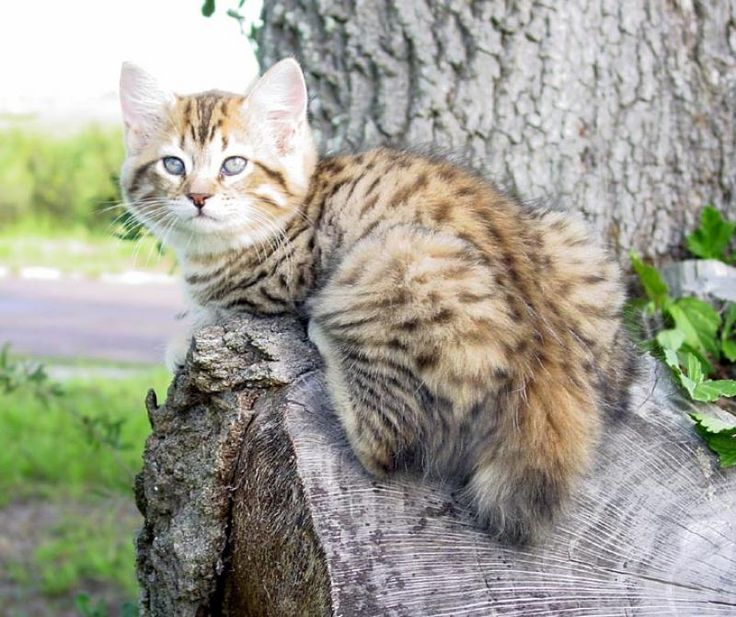 American Bobtail Cat Breeders - Cats - Kittens