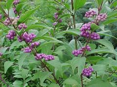 Callicarpa dichotoma  Asian Beautyberry  (may be invasive & is an introduced species)