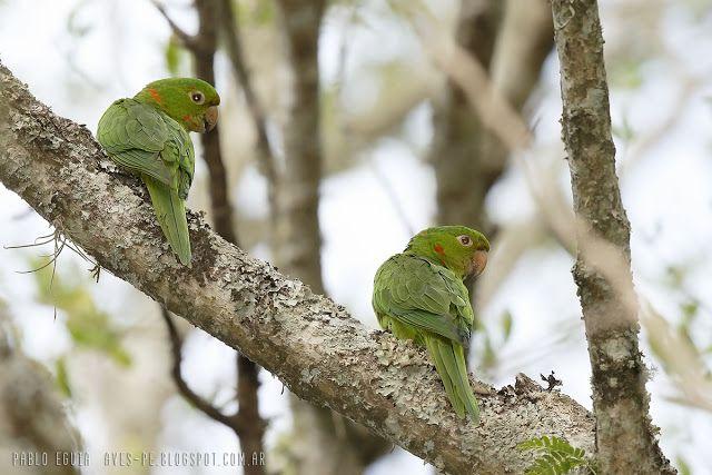 mis fotos de aves: Psittacara leucophthalmus Calancate ala roja White...