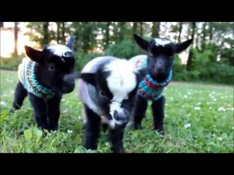 These Baby Goats In Tiny Sweaters Will Make Your Day