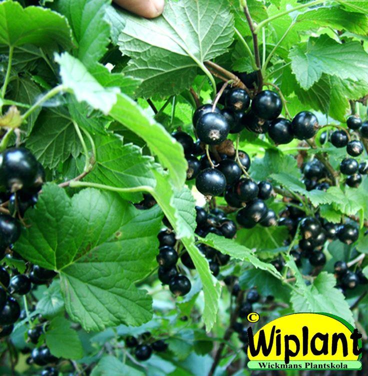 Ribes nigrum 'Hedda', svarta vinbär. FinE-sort. Upprättväxande norsk sort. Söta goda bär. Mjöldaggsresistent. Höjd: 1-1,5 m.