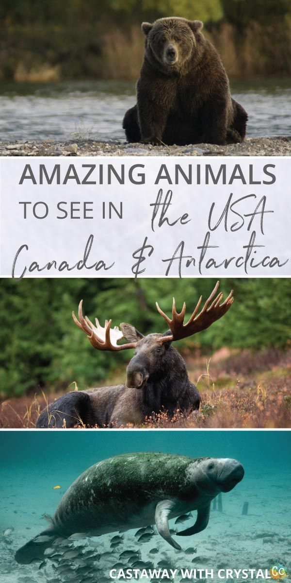 What animals can you see in the USA and Canada?   Amazing Wildlife of Antarctica   How to see bears in the United States of America   How to see Moose in Alaska   Where to see Killer Whales   How to see manatee for free   #Animals #USA #Canada #bear #whale #moose #Manatee via @CastawayCrystal