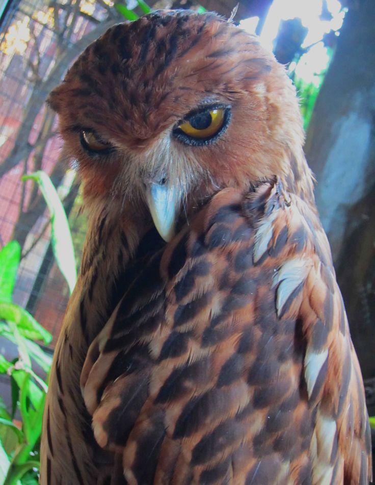 Philippines Eagle Owl Pinned by www.myowlbarn.com