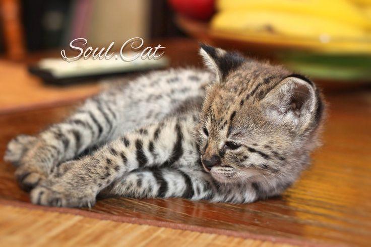 Котенок Саванна F1.   В питомнике SoulCats Вы можете купить котёнка Чаузи F1, Саванна F1 и котёнка Сервал.