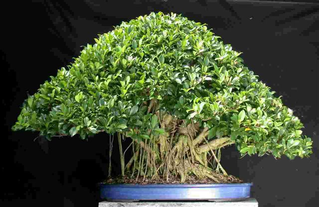 Cuidados de los Ficus | cuidatujardin.com