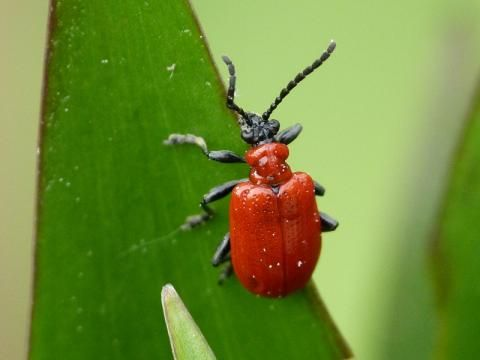 Lily Beetle: the unwelcome guest | Nature Notes from Dorset