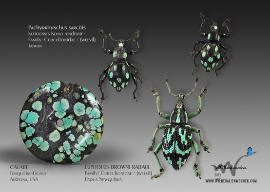 Calaite  Turquoise-Donut  Arizona, USA & Pachyrrhynchus sarcitis kotoensis Kono  -endemic-  Family: Curculionidae / (weevil)  TAIWAN with Eupholus browni rabaul  Family: Curculionidae / (weevil)  PAPUA NEWGUINEA (WATCH THIS EXHIBITION LIVE IN VIENNA 2013 - www.wieneralienwochen.com)