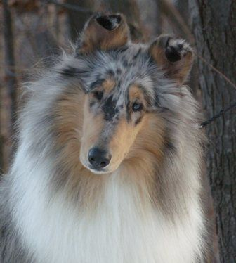 Rough Collies, Blue Merle Rough Collie, Beautiful Collies, Blue Merle Collies, Pretty Dogs, Dogs Collies, Collies Beautiful, Beautiful Dogs, Animal