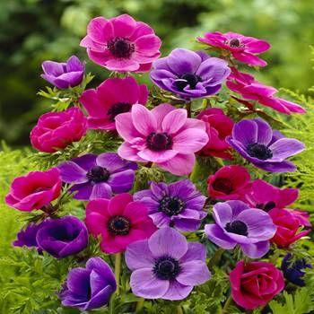 An mone coronaria de caen 20 bulbes de fleurs achetez en for Commander des fleurs par internet
