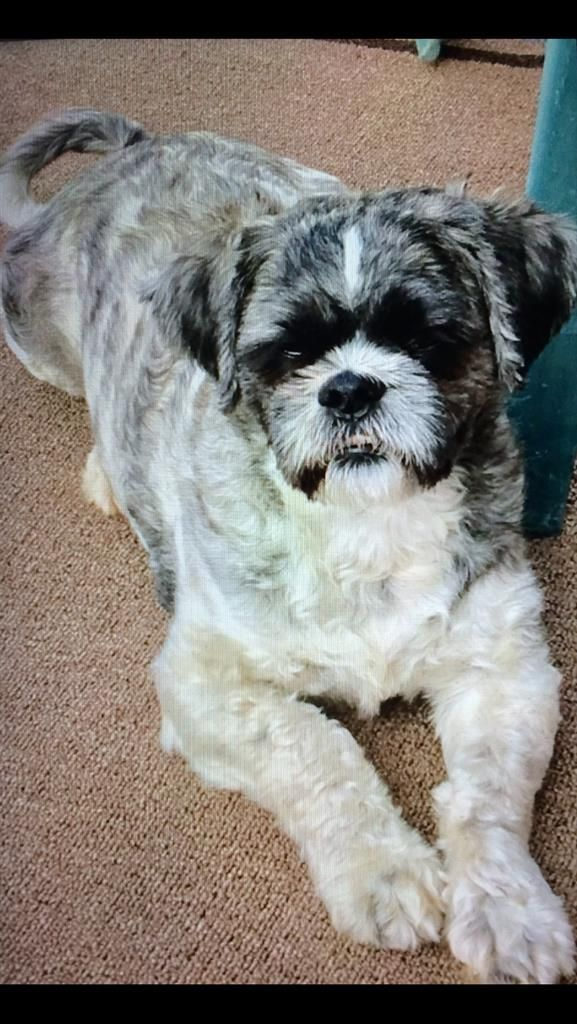 Lost Dog - Shih Tzu - Brandon, FL, United States