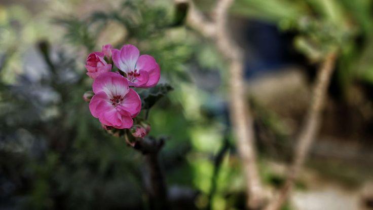 #beautiful #beautiful flowers #bloom #blooming #blur #blurred background #bokeh #bright colours #flower #flower wallpaper #green #mothernature #nature #nature photography #nature wallpaper #pink #spring flowers