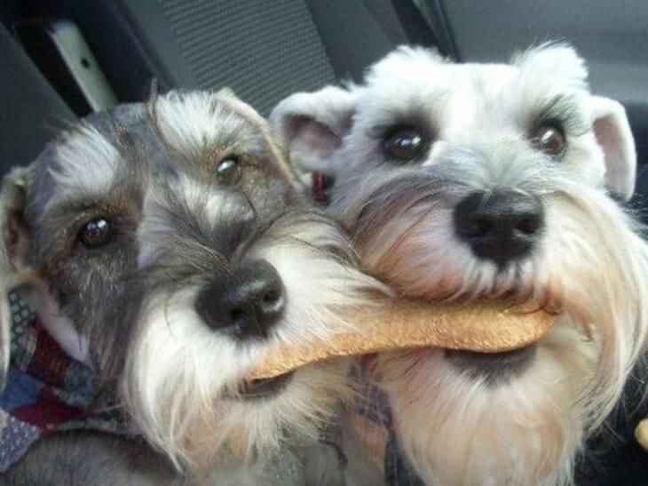 20 Reasons To Never Ever Adopt A Schnauzer Dog Breed Schnauzer Puppy Schnauzer Dogs Miniature Schnauzer