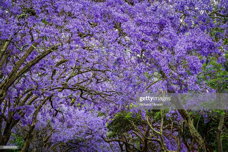 Stock Photo Jacaranda trees in full bloom Bloom