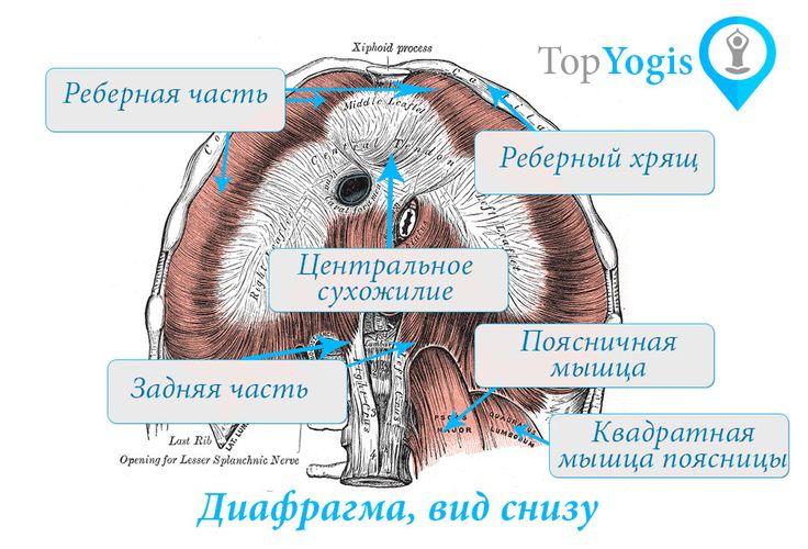 Диафрагма и дыхание анатомия йоги. Читайте о дыхании и йоге на https://topyogis.com/ru/blog/anatomia-iogi/dyhanie-i-ioga