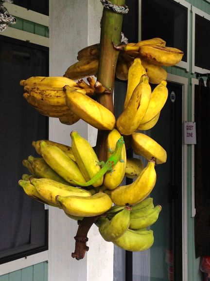 Mmm! A rack of yummy bananas harvested from our property. If you look close, you will see a hawaiian gecko trying for a bite..
