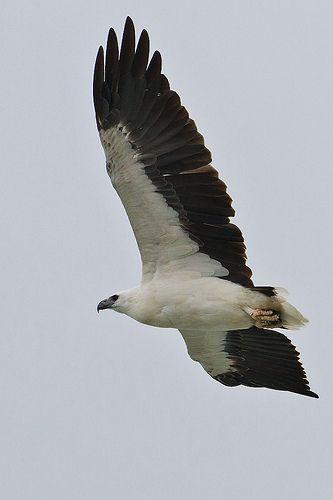 White-bellied+Sea-Eagle
