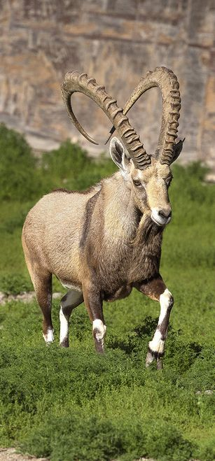 Nubian ibex are like little goat ballerinas, living on steep cliffs and mountains. With their segmented, concave hooves, Nubian ibex can make their way up and down steep, rocky cliffs with surprising skill.