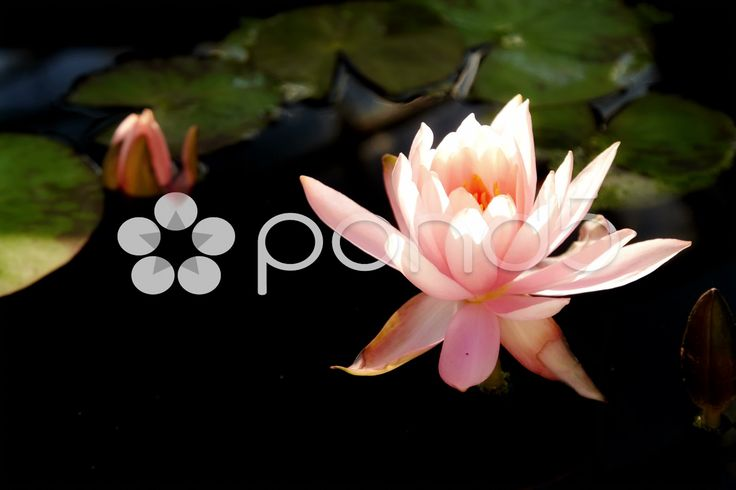 Time lapse opening of water lily flower - Stock Footage | by kovalvs