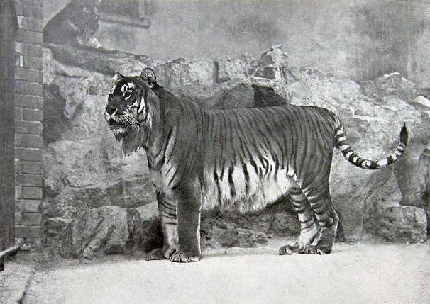 Timeline of Tiger Extinctions: 1958: Caspian Tiger Extinct