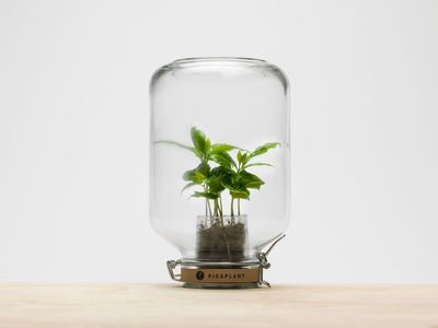 Jar Self-sufficient greenhouse - / Mini coffee bush included - H 28 cm by Pikaplant