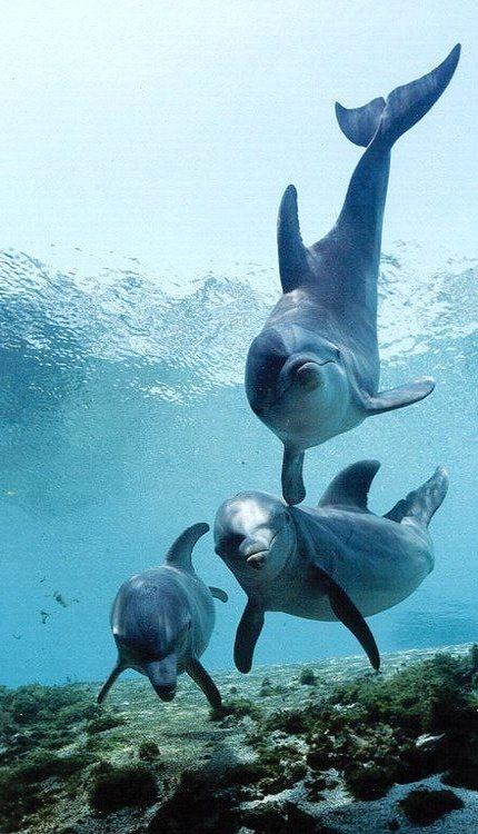 Save the dolphins! Adopt a dolphin today at http://www.oceanicsociety.org/support_options/adopt_dolphin