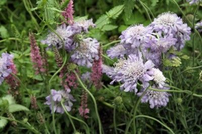 Growing Conditions For Scabiosa Flowers: How To Care For Scabiosa Pincushion Flower - Looking for a new addition to the flower garden? Try scabiosa, also known as pincushion flower. This easy-care plant works well nearly anywhere and its interesting flowers are a stunning sight to behold. They are especially attractive to butterflies. This plant is suitable for bed and border plantings or in containers. The long stems and flowering season also makes it ideal for use in cutting gardens.