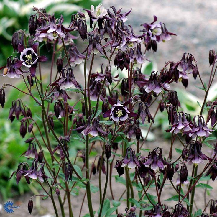 Akeleje (AQUILEGIA VULGARIS 'WILLIAM GUINESS') sol/halvskygge, maj-aug, 50-100 cm, knib blomster, eller lad dem selvså, kan sås i efterår vha. frøsåning.