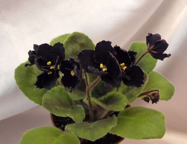 African violet 'Mac's Black Pearl'. Velvety black petals. Ooo black flowers for in the house!
