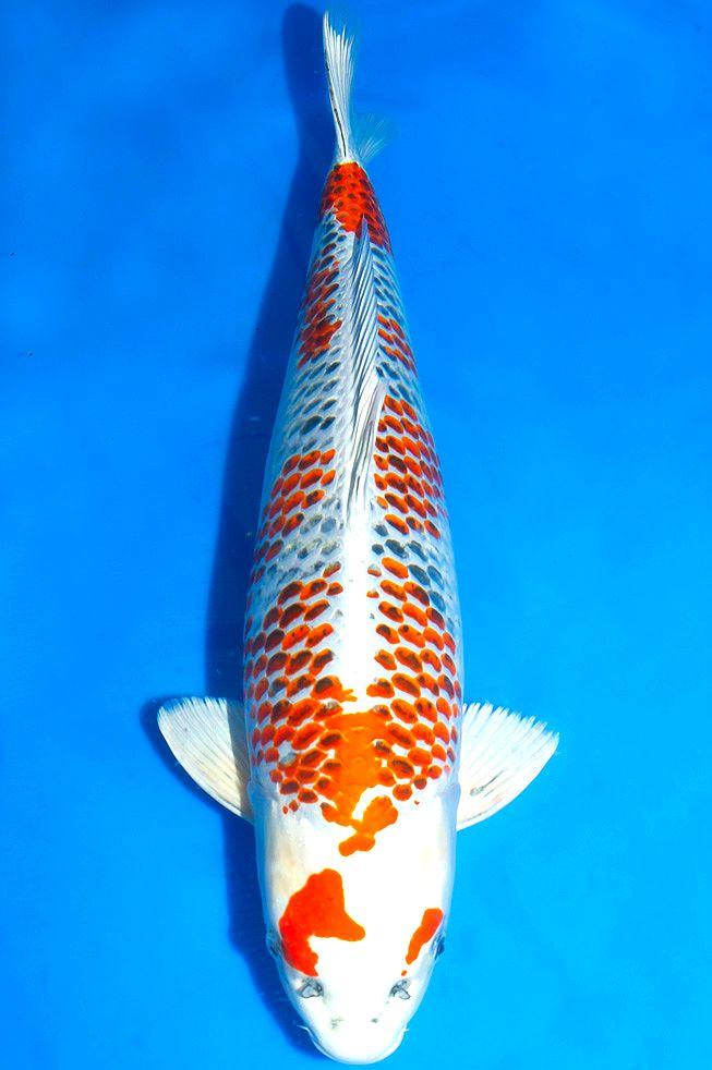 553 best images about koi ponds on pinterest for Japanese koi carp