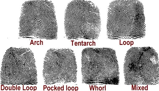 These are the diffrent types of fingerprints that occur on a persons finger. Fingerprints are useful in criminal forensics invegtigators because with every human beings fingerprints are diffrent for every person. This makes it easy for forensics investigators to determine who the suspect is and if the person they are holding did commit the crime. The three most basic types are loop, arch, and whorl.