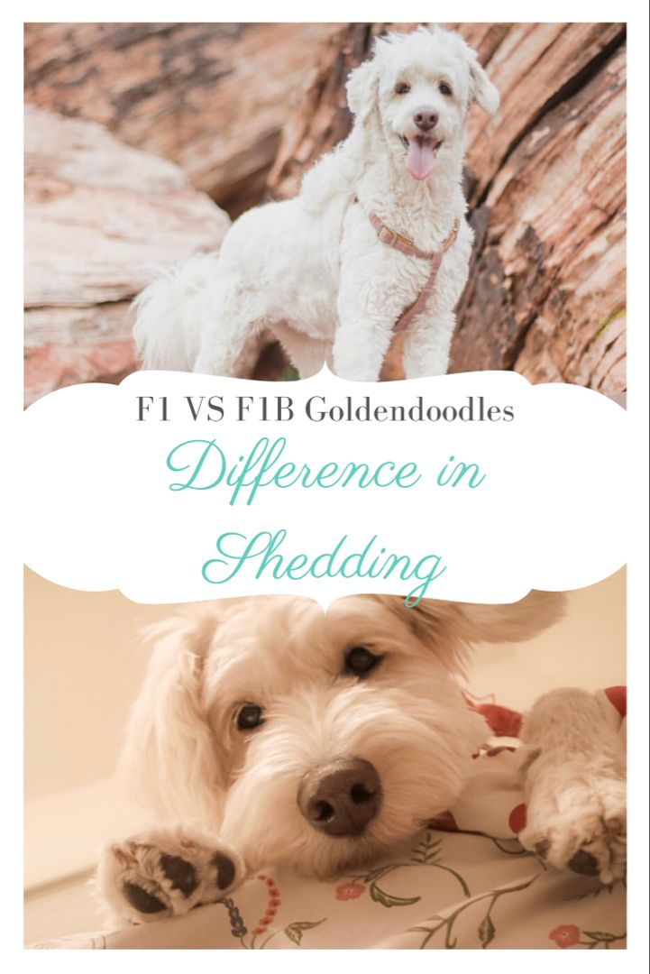 F1 Vs F1b Goldendoodle Which Is Best In 2020 Goldendoodle F1b Goldendoodle Dog Shedding