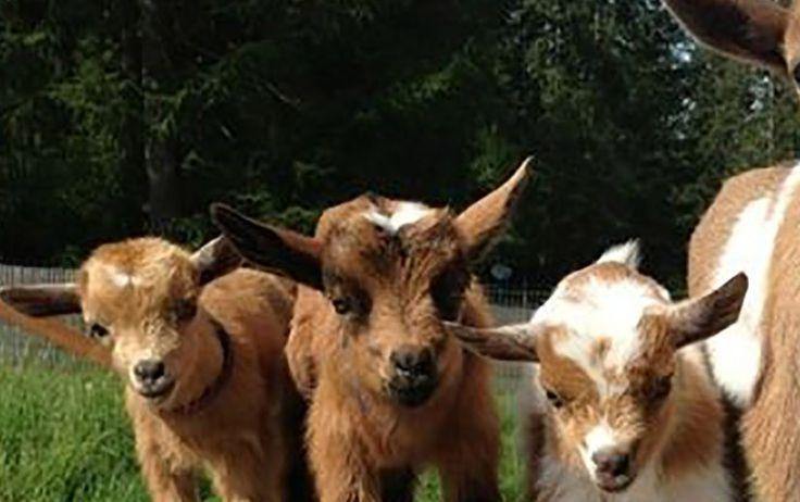 Raising Goats For Profit [Chapter 9] Raising Goats