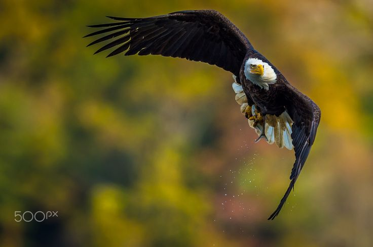 Autumn Flight - A mature bald eagle ascends with his catch over the Susquehanna River.