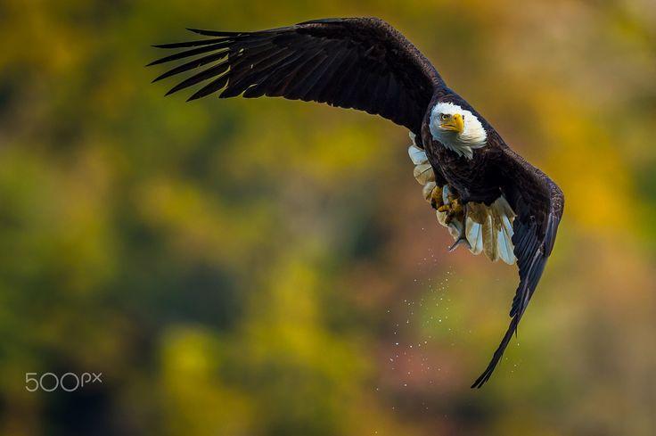 Autumn Flight - A mature bald eagle ascends with his catch over the Susquehanna River.