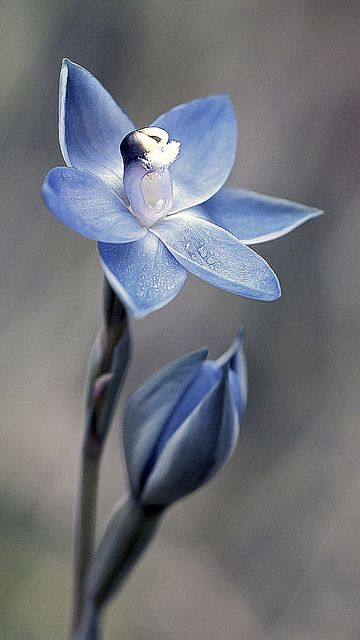 Glistening Sun-Orchid: Thelymitra lucida - by Macro Orchids Tasmania