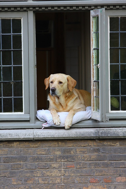 """""""The most photographed dog in Bruges, Belgium, Fidel delights all by sitting in the window watching the world go by. This is how he appeared in the movie 'In Bruges'"""" • photo: Donna Post on Flickr"""